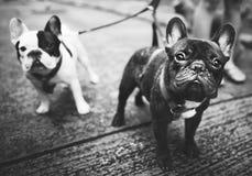 Concept canin animal de pedigree de chien de bouledogue français Photographie stock