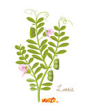Concept of cereals, legumes and plants. Lentils with leaves, grains. Royalty Free Stock Photo