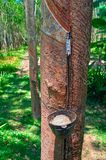 Concept of collecting latex from hevea tree. Cup for collecting latex is fixed on the trunk. In the bowl collected latex. Concept of collecting latex from hevea Stock Photo