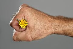 Concept and contrast of hairy man hand and flower Stock Photography