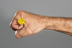 Concept and contrast of hairy man hand and flower Royalty Free Stock Photos