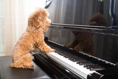 Concept of cute poodle dog playing upright grand piano Royalty Free Stock Photo