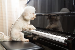Concept of cute poodle dog playing upright grand piano Stock Images