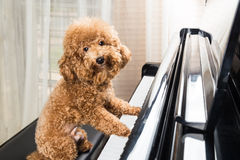 Concept of cute poodle dog preparing to play grand piano Stock Image