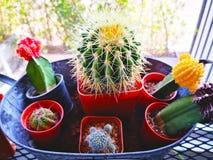 Concept d'amour Beaucoup d'espèces de cactus sont plantées dans des pots Et ensemble i Photos libres de droits