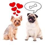 Concept d'amour et de relations - deux chiens mignons pensant au lov Photographie stock libre de droits