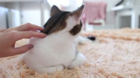 Concept d'amour pour les animaux Accrochage à la main d'une mignonne chatte endormie sur un canapé Tabby banque de vidéos