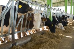 Concept d'industrie, de ferme et de production animale d'agriculture - troupeau de vaches mangeant le foin dans l'étable Photo stock