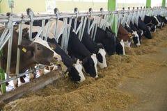 Concept d'industrie, de ferme et de production animale d'agriculture - troupeau de vaches mangeant le foin dans l'étable photos stock