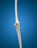 concept 3D médical d'os et d'articulation humains de jambe Images libres de droits
