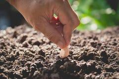 Concept de jeune plante par la main humaine, graine de ensemencement humaine dans le sol Photos libres de droits