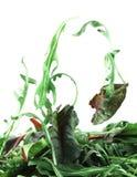 Concept de légèreté de salade de Rucola et de bette à cardes images stock