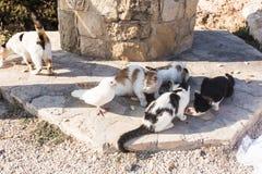 Concept de l'amitié et de la paix - chats affamés et pigeon blanc Images libres de droits