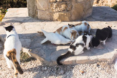 Concept de l'amitié et de la paix - chats affamés et pigeon blanc Image stock
