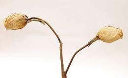 Concept de l'amour de mort - roses blanches sèches Photos stock