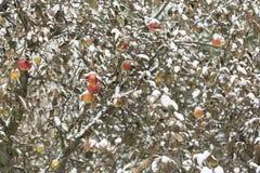 Concept de l'hiver Beaucoup de pommes sur l'arbre en hiver Images libres de droits