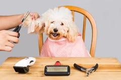 Concept de la fourrure de chien de caniche étant coupée et toilettée dans le salon Images stock