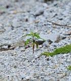 Concept de la nouvelle vie, une pousse se levant sur la roche Image stock