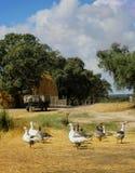 Concept de la vie de ferme : oies, vieille traction subite, pile de balles de paille Photo libre de droits