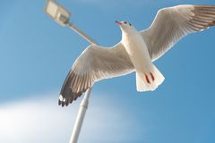 Concept de liberté, mouette blanche montant dans le ciel bleu à Miami photos libres de droits