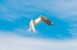 Concept de liberté, mouette blanche montant dans le ciel bleu à Miami photo libre de droits