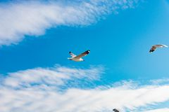 Concept de liberté, mouette blanche montant dans le ciel bleu à Miami photos stock