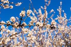 Concept de ressort, de floraison et de nature - la belle amande fleurit Photo libre de droits