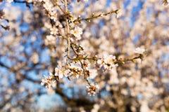 Concept de ressort, de floraison et de nature - la belle amande fleurit Images libres de droits