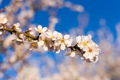 Concept de ressort, de floraison et de nature - la belle amande fleurit Photos stock