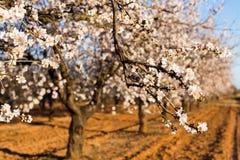 Concept de ressort, de floraison et de nature - la belle amande fleurit Photographie stock libre de droits
