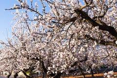 Concept de ressort, de floraison et de nature - la belle amande fleurit Image libre de droits