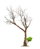 Concept death and life revival. Single old and dead tree and young shoot from one root isolated on white background.Concept death and life revival stock photos