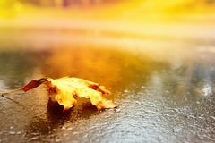 Concept design autumnal mood, yellow foliage on a background. Fall October or November. Brightly colored maple leaves during autumn royalty free stock photo