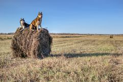Concept dog walking. Siberian husky sit on haystack in harvested farm field. Husky dogs black-white and red colors. Stock Photo
