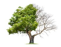 Concept of doubleness. Dead tree on one side and living tree on the different side. royalty free stock photography