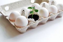 Concept Easter. Delicate fragile sprout as symbol of renewal and desire for life among white eggs in cardboard box on white. Sprouting green sprout among white royalty free stock photo