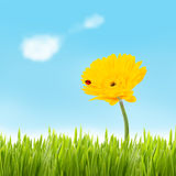 Yellow gerbera with ladybug. Concept of eco environment. Beautiful yellow gerbera with ladybug growing in a grassfield with blue sky and clouds Stock Photo