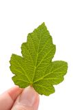 Concept of eco-friendly, new leaf in hand. Royalty Free Stock Image