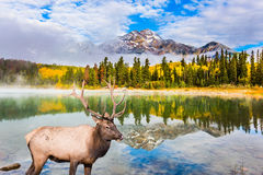Noble deer grazing by Pyramid lake. The concept of ecological tourism. Cool autumn morning in the Rocky Mountains. Noble deer with branched horns grazing by Royalty Free Stock Photos