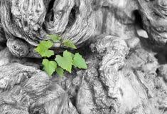 Concept et succès d'écologie en tant qu'un vieil arbre réduit et fort Photographie stock