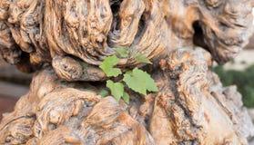 Concept et succès d'écologie en tant qu'un vieil arbre réduit et fort Photo stock