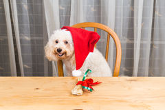 Concept of excited dog on Santa hat with Christmas present on ta. Ble royalty free stock photo
