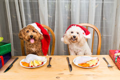 Concept of excited dogs on Santa hat having delicious raw meat C Royalty Free Stock Photo