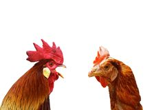 Concept of family argue. With two isolated birds ( rooster and hen Stock Photos