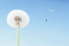 Concept of freedom. Dandelion with seeds flying away with the wind. Copy space, blue sky. Concept of freedom. Overblown dandelion with seeds flying away with the stock images