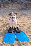 Concept of fun pastime with dog in the summertime. Adorable jack russell terrier dog with big blue flippers having fun on the beach. Concept of fun pastime with Stock Image