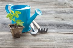 Seedlings in a peat pot and blue watering can Stock Image