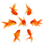 Concept with goldfish. Condemnation and disapproval of the crowd Royalty Free Stock Photography