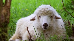 Concept grandissant de bétail Un troupeau des moutons se reposant dans un pré et mangeant l'herbe dans une vallée verte un jour e banque de vidéos