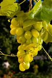 Concept grape wine. With grape and goblet Royalty Free Stock Images